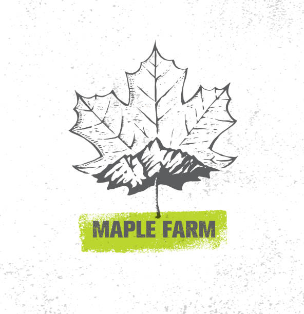Organic Maple Syrup Local Farm Creative Vector Sign. Rough Illustration On Raw Textured Wall Background. Organic Maple Syrup Local Farm Creative Vector Sign. Rough Illustration On Raw Textured Wall Background. maple syrup stock illustrations