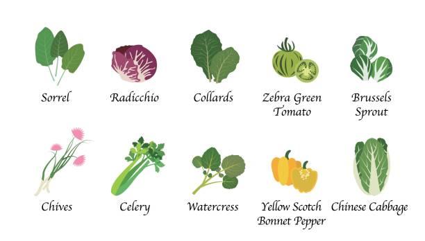 stockillustraties, clipart, cartoons en iconen met biologische aard gezondheid plantaardig voedsel spice geïsoleerd vector collectie set - spruitjes