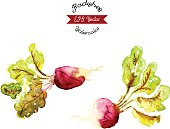 Organic radishes, watercolor vector illustration