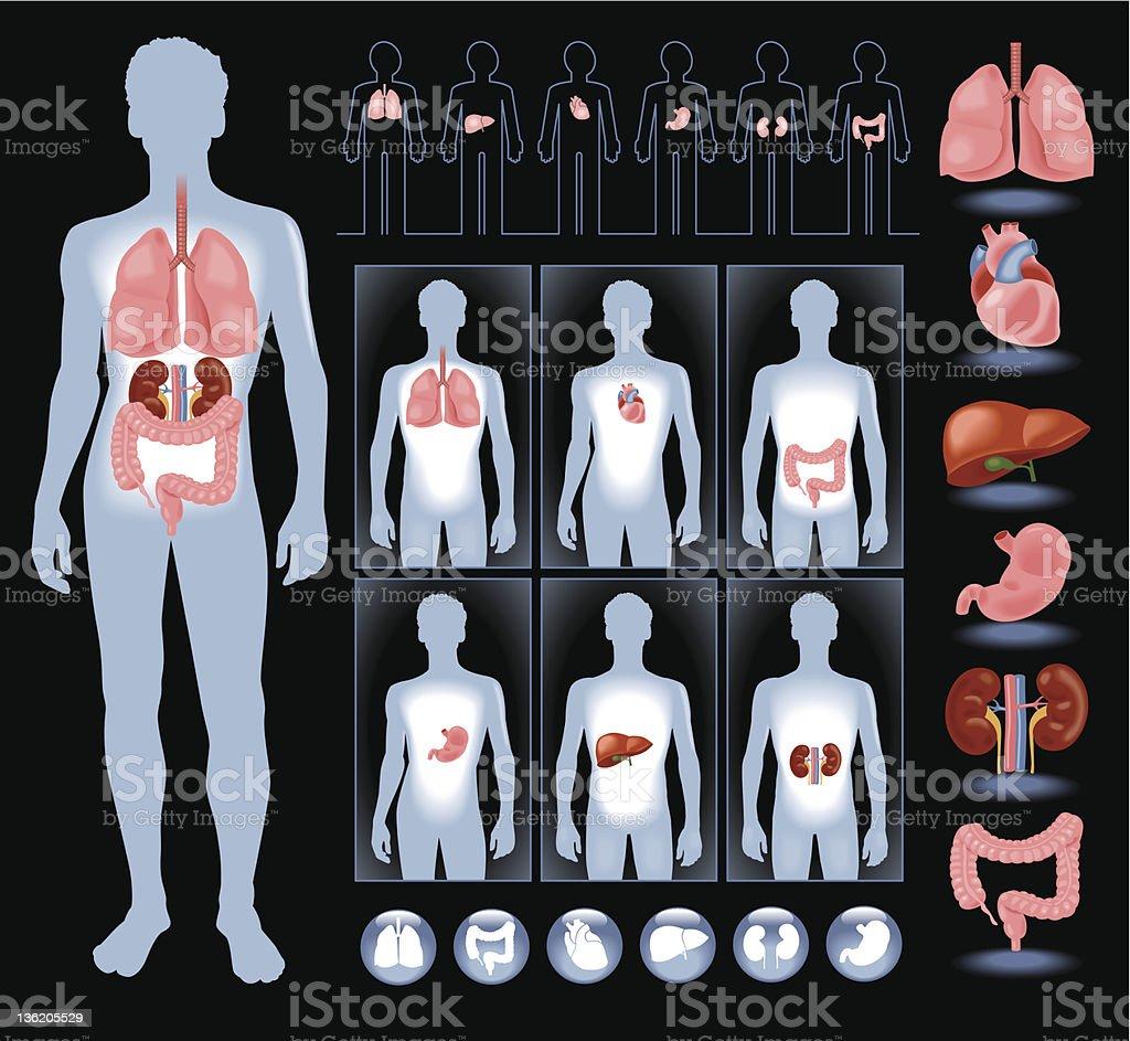 Organs in a human  body vector art illustration