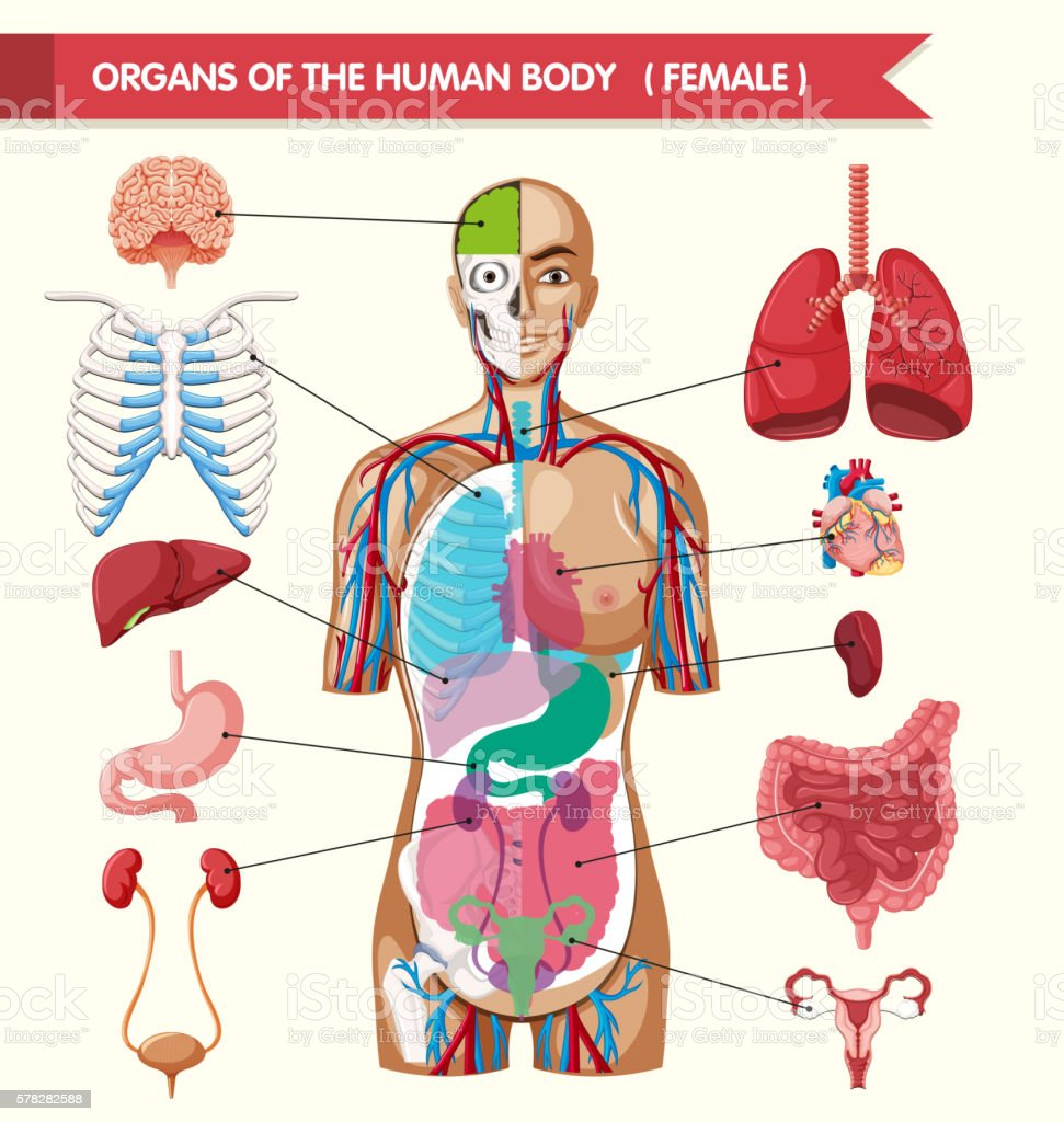 Organs Of The Human Body Diagram Stock Illustration