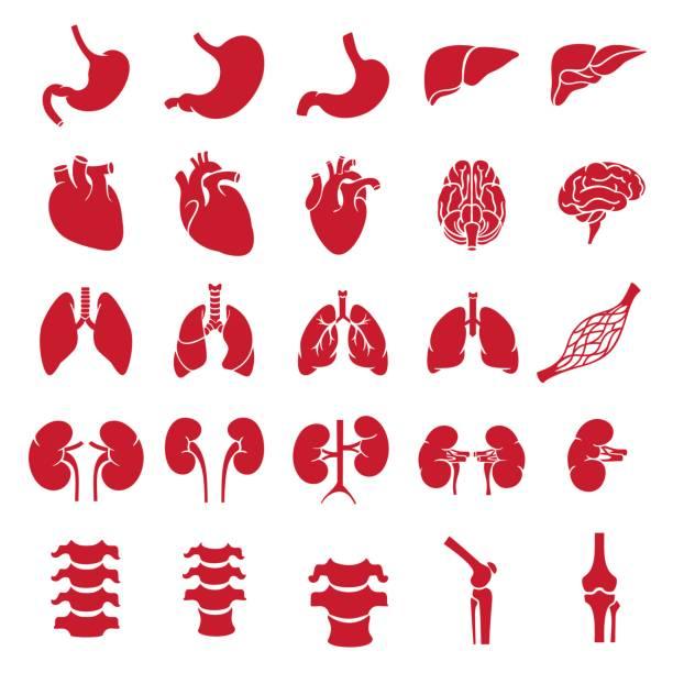 organs_red Internal human organs. Anatomy set illustration. Vector of outline medical icons for infographic. heart internal organ stock illustrations