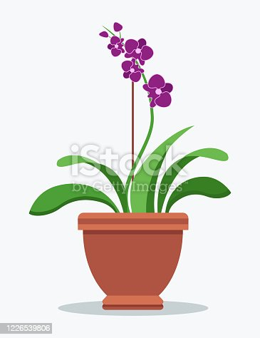 Oriental purple orchid indoor plant in clay pot. House flowerpot with beautiful blossom on long thin stem. Chinese flower isolated vector illustration