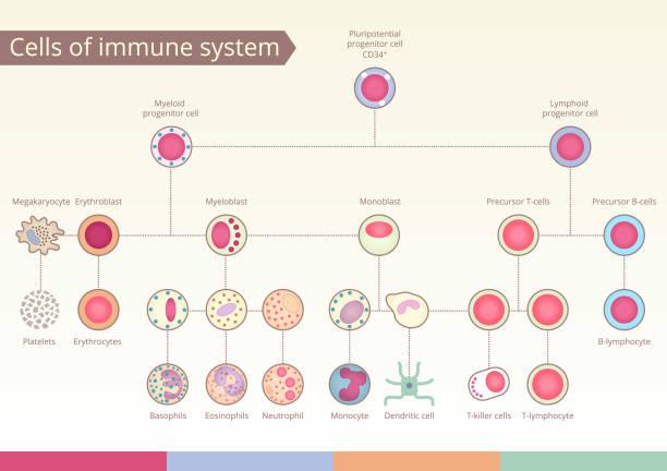 Origin of Cells of immune system. Origin of Cells of immune system. Medical benefit, the study of immunology. Vector design elements. white blood cell stock illustrations