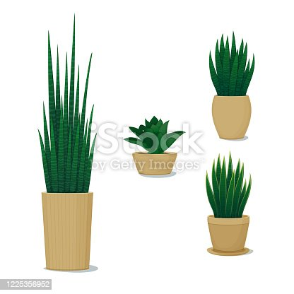 Ornamental potted plants. Home decor. Vector illustration. Set of different snake plants, mother-in-law's tongues, sansevierias  isolated on a white background. Indoor design elements.