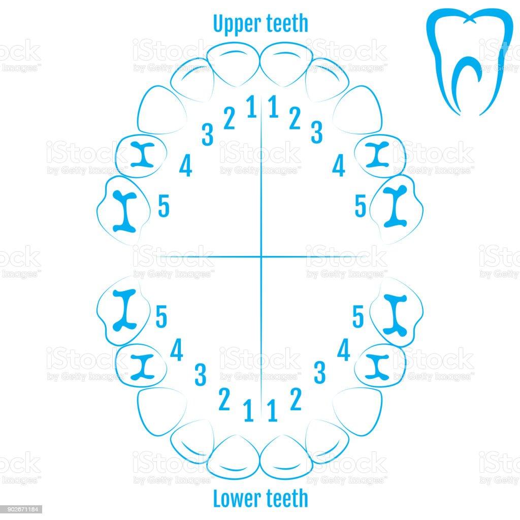 Suficiente Ortodontista Dente Humano Anatomia Vetor Com Numeração Dos Dentes  CU47
