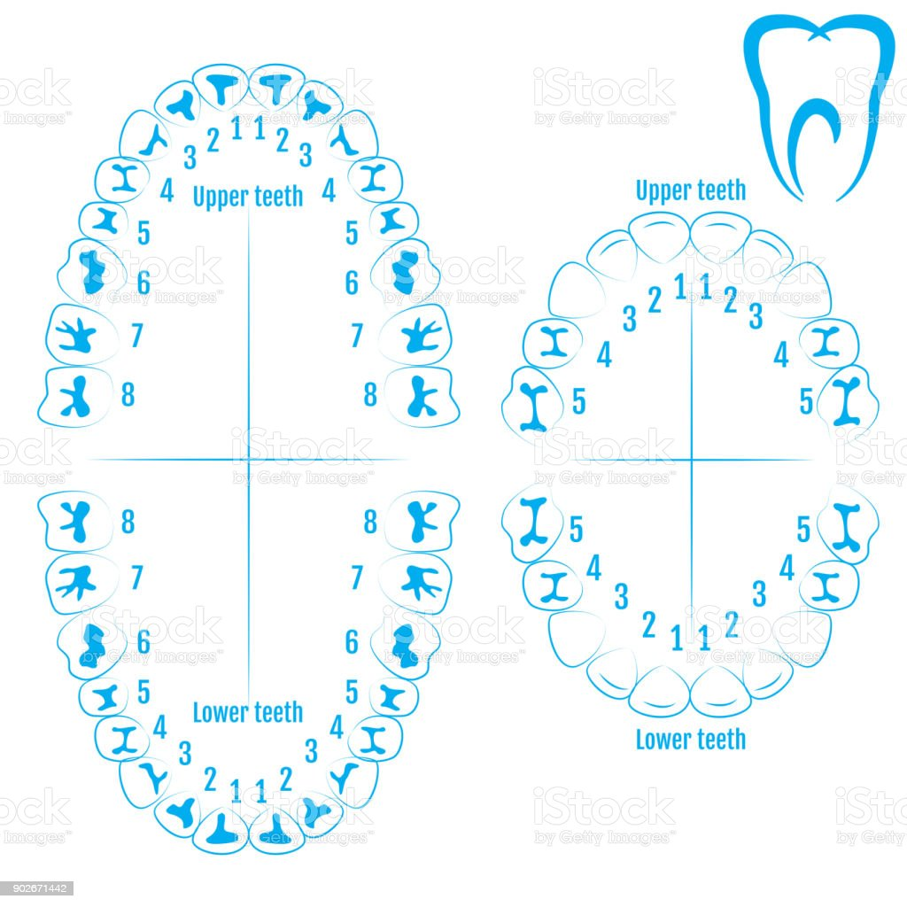 Orthodontist human tooth anatomy vector with numbering of teeth of an adult and a child. Medical dental illustration vector art illustration