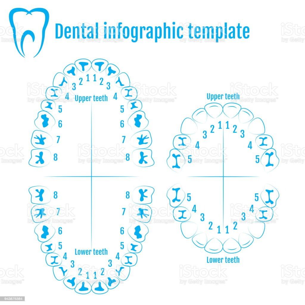 Orthodontist human tooth anatomy vector with numbering of teeth of an adult and a child. Medical dental infographic template vector art illustration