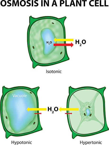 observing osmosis in potato cells Start studying exercise 5: osmosis & diffusion lab & exercise 6: enzyme activity of b-galactosidase learn closest to being isotonic with the potato cell.