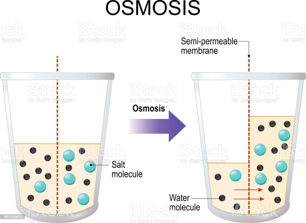 Osmosis. Water passing through a semi-permeable membrane vector art illustration