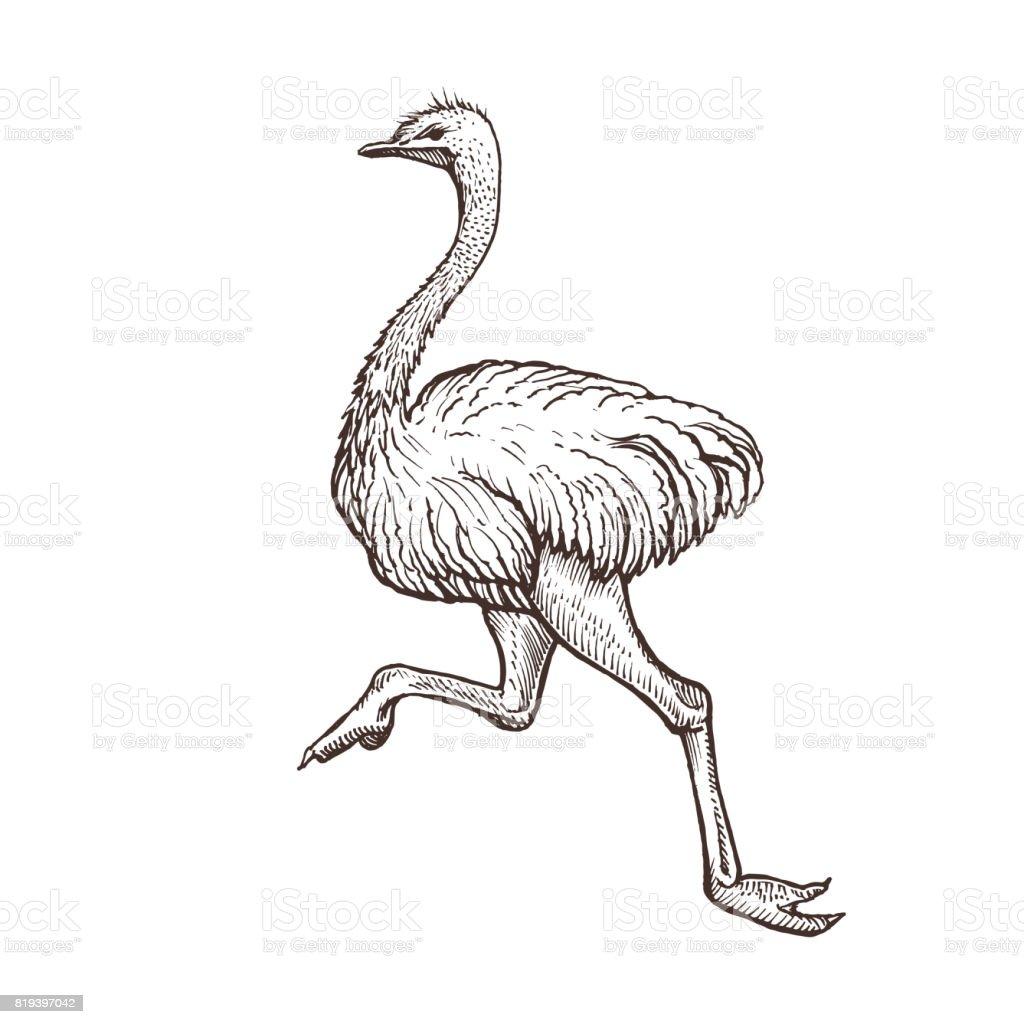 Pássaro de avestruz, desenho de animais de fazenda, isolada avestruz correndo sobre o fundo branco. Estilo vintage - ilustração de arte em vetor