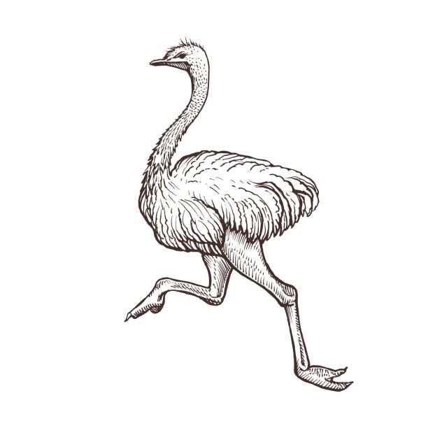 Oiseau autruche, esquisse animaux de ferme, isolée des autruches en cours d'exécution sur le fond blanc. Style vintage - Illustration vectorielle