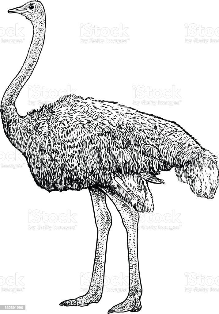 Ostrich illustration, drawing, engraving, ink, line art, vector vector art illustration