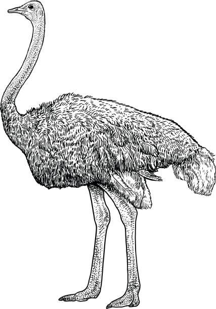 Illustration de l'autruche, dessin, gravure, encre, dessin au trait, vecteur - Illustration vectorielle