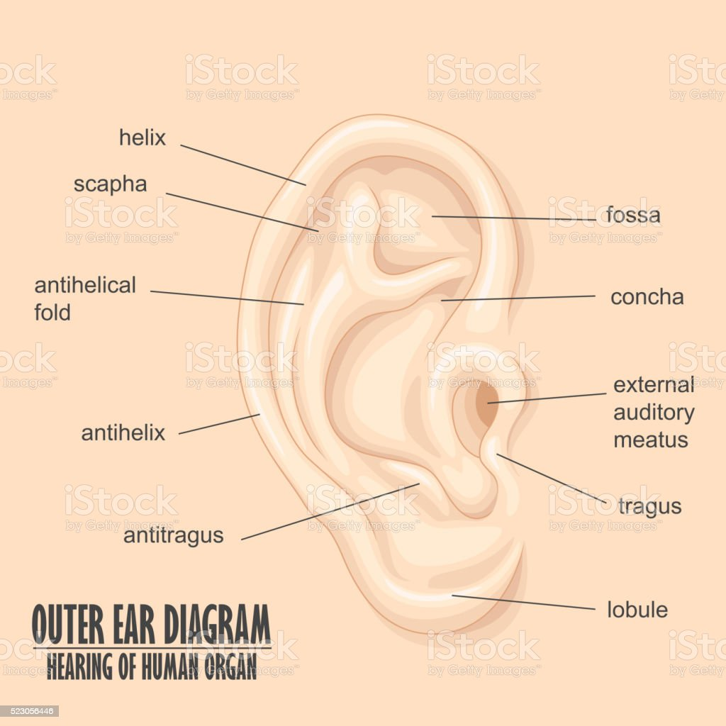 Outer ear diagram hearing of human organ stock vector art more outer ear diagram hearing of human organ royalty free outer ear diagram hearing of human ccuart Gallery