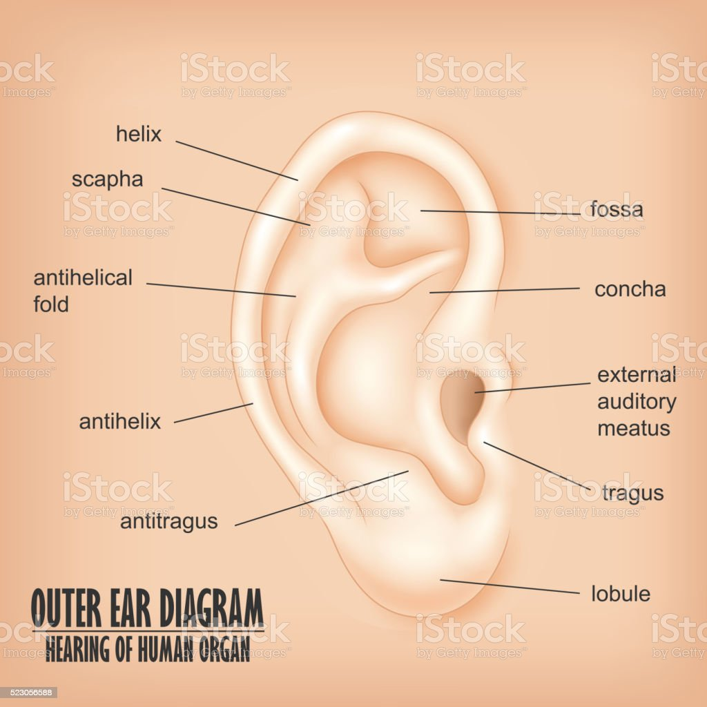Outer Ear Diagram Hearing Of Human Organ Stock Vector Art & More ...