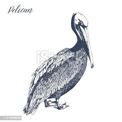 Outline ink drawing of standing pelican. Vector ocean bird illustration.