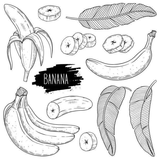 Outline ink style sketch set of banana Outline ink style sketch set of banana. Hand drawn banana single, slices pieces, bunch and leaves. Design for shop, book, menu, banner. Healthy food ingredient. Vector coloring illustration. banana drawings stock illustrations