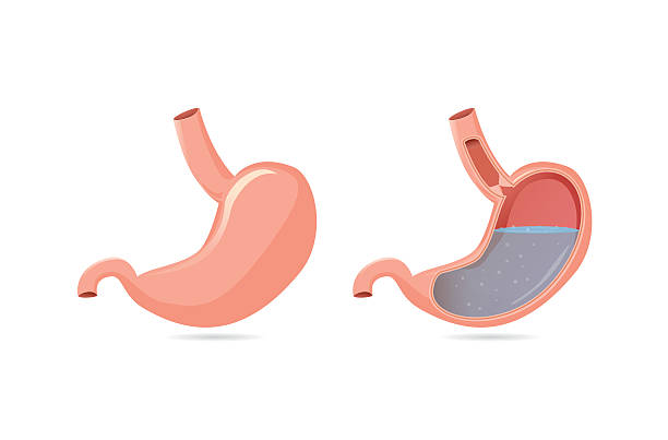 Outside of stomach and inside. Illustration of outside of stomach muscular and inside which can saw gastric acid. abdomen stock illustrations