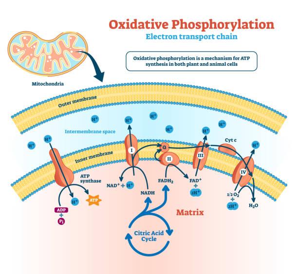 oxidative phosphorylierung vektor-illustration. beschriftetes stoffwechselschema. - enzyme stoffwechsel stock-grafiken, -clipart, -cartoons und -symbole