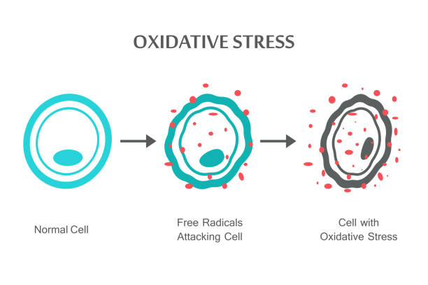 Oxidative Stress Diagram Oxidative Stress Diagram. Vector illustration flat design biological cell stock illustrations