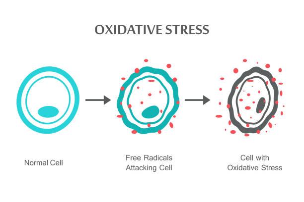 oxidativer stress-diagramm - stoffwechsel stock-grafiken, -clipart, -cartoons und -symbole