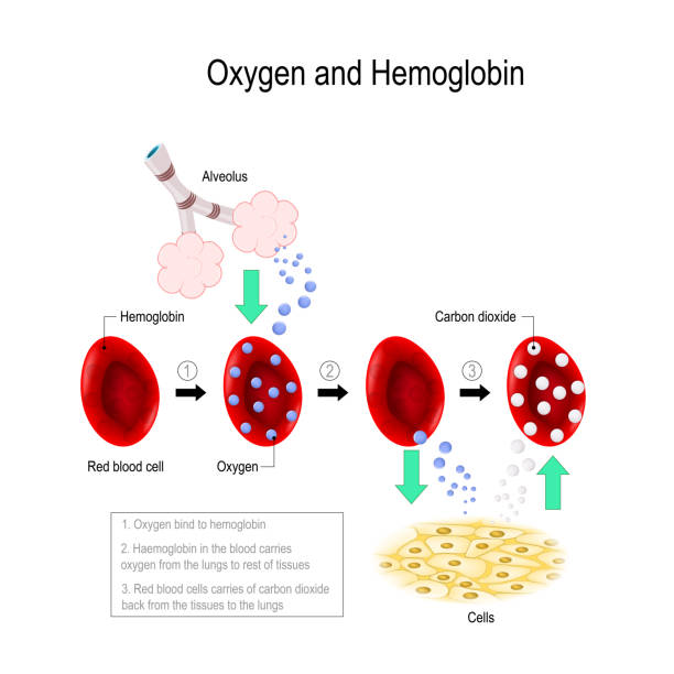 oxygen and hemoglobin Oxygen bind to hemoglobin. erythrocyte carries oxygen from the lungs to rest of tissues. Red blood cells carries of carbon dioxide back from the tissues to the lungs. Vector diagram for educational, medical, biological and scientific use hemoglobin stock illustrations