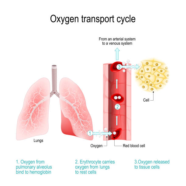 Oxygen transport cycle. Gas exchange in lungs Oxygen transport cycle. Gas exchange in lungs: Oxygen from pulmonary alveolus bind to hemoglobin in red blood cell; erytrocyte carries oxygen from the lungs to rest cells. arterial system and venous blood. Vector diagram for educational, medical, biological, chemical and scientific use hemoglobin stock illustrations