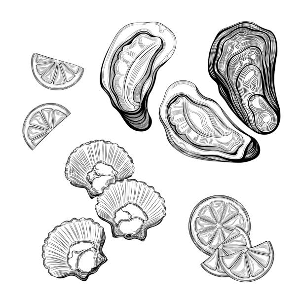 Oyster, sea scallop. Seafood. vector art illustration