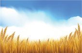 Golden wheat or grain growing healthy and ready for harvest