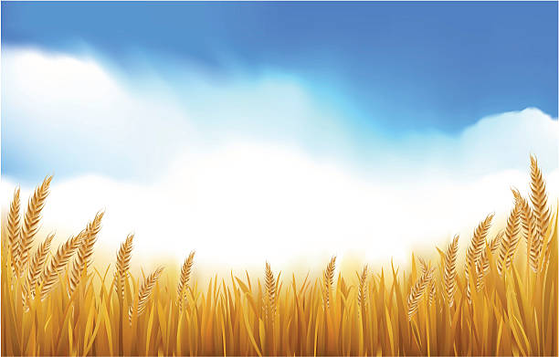 Wheat In The Field Royalty Free Cliparts, Vectors, And Stock Illustration.  Image 9716634.