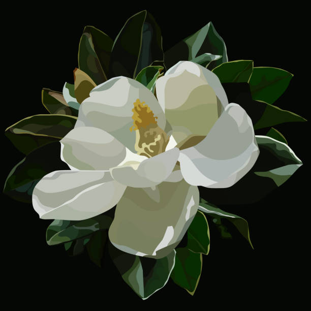 stockillustraties, clipart, cartoons en iconen met grote bloei witte magnolia bloemen op een zwarte achtergrond geschilderd - bloesem
