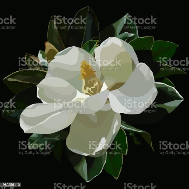 Grote Bloei Witte Magnolia Bloemen Op Een Zwarte Achtergrond Geschilderd Stockvectorkunst en meer beelden van Blad