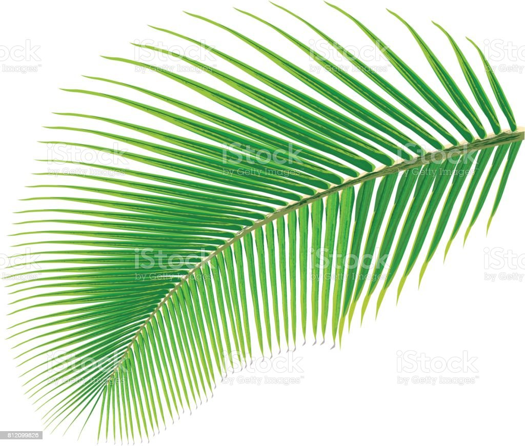 Palm tree leaf, vector vector art illustration