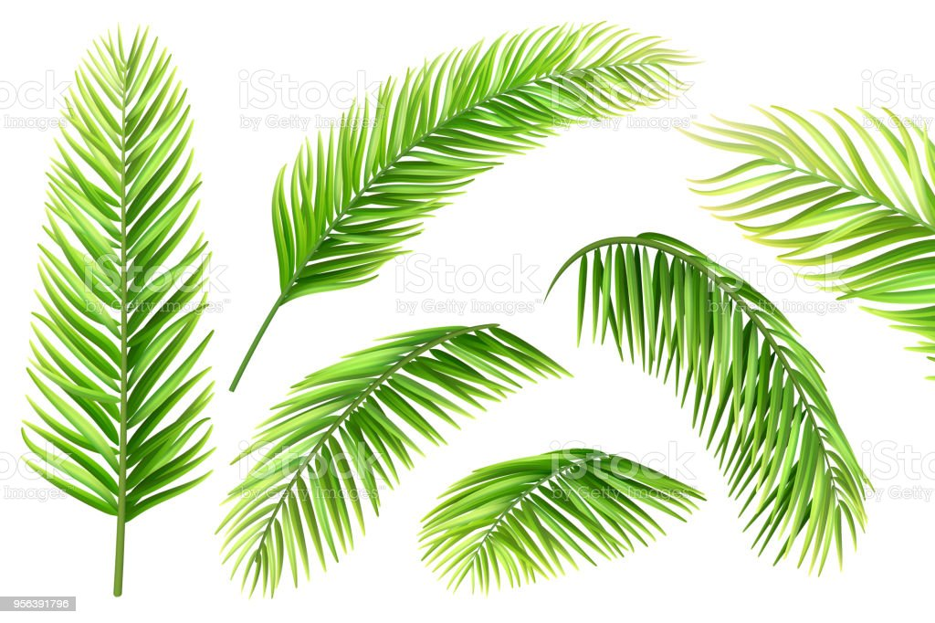 Palm Tree Leaves Vector Set Stock Illustration Download Image Now Istock