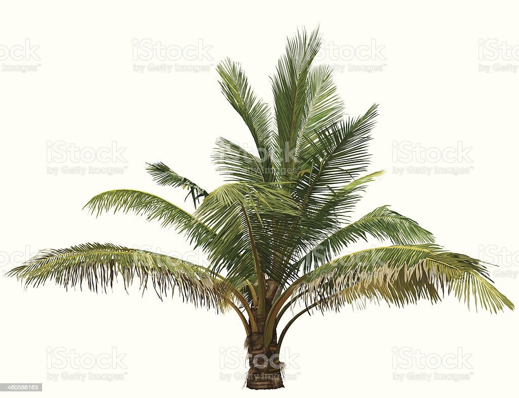 royalty free date palm tree clip art vector images illustrations rh istockphoto com palm tree clip art images palm tree clip art images
