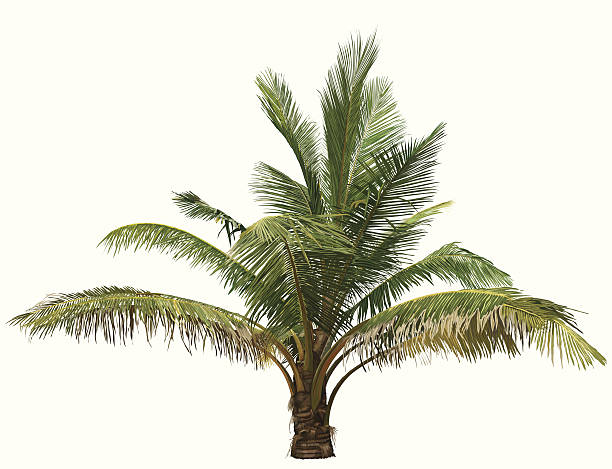 Royalty Free Palm Oil Tree Clip Art Vector Images