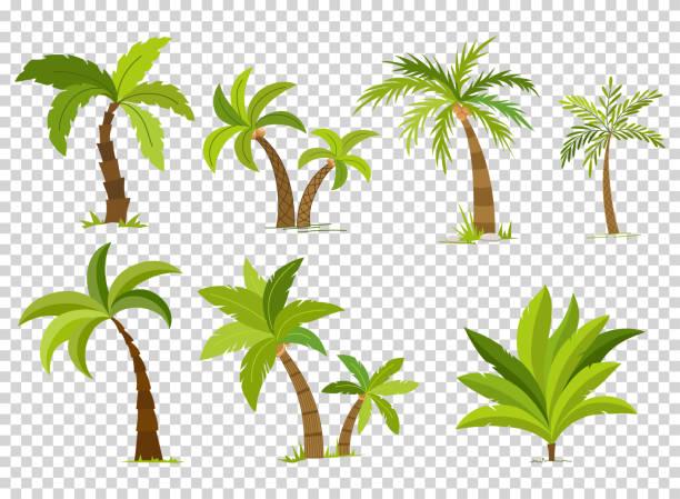 ilustrações, clipart, desenhos animados e ícones de palmeiras isoladas em plano de fundo transparente. árvore de palma vectro lindo conjunto de ilustração vetorial - coqueiro