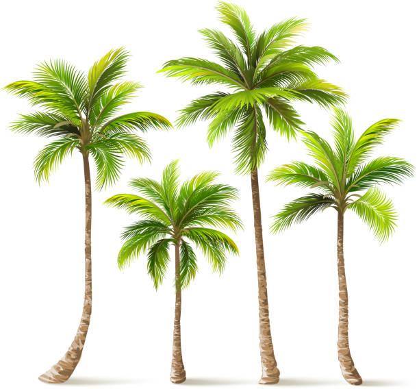 ilustrações, clipart, desenhos animados e ícones de conjunto de árvores de palma. vector - coqueiro