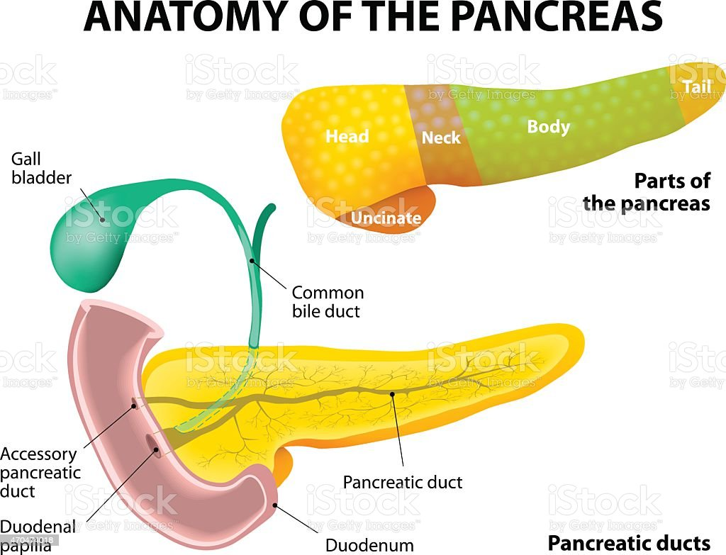 Pancreas Anatomy. labeled vector art illustration