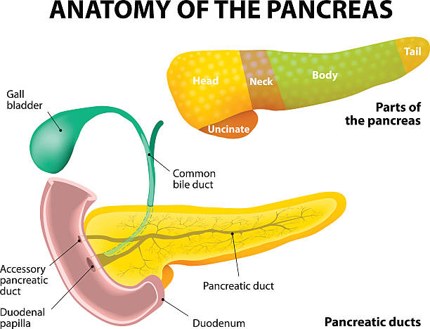 Pancreas Anatomy. labeled diagram of parts of the pancreas. Pancreas, duodenum and gall bladder. Detailed description bile stock illustrations