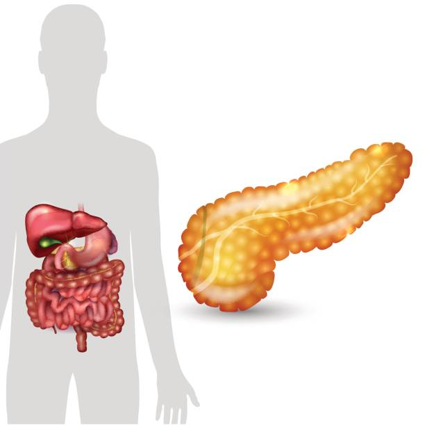 Pancreas anatomy Pancreas anatomy and human silhouette with internal organs, gallbladder, intestine, stomach and spleen on a white background bile stock illustrations