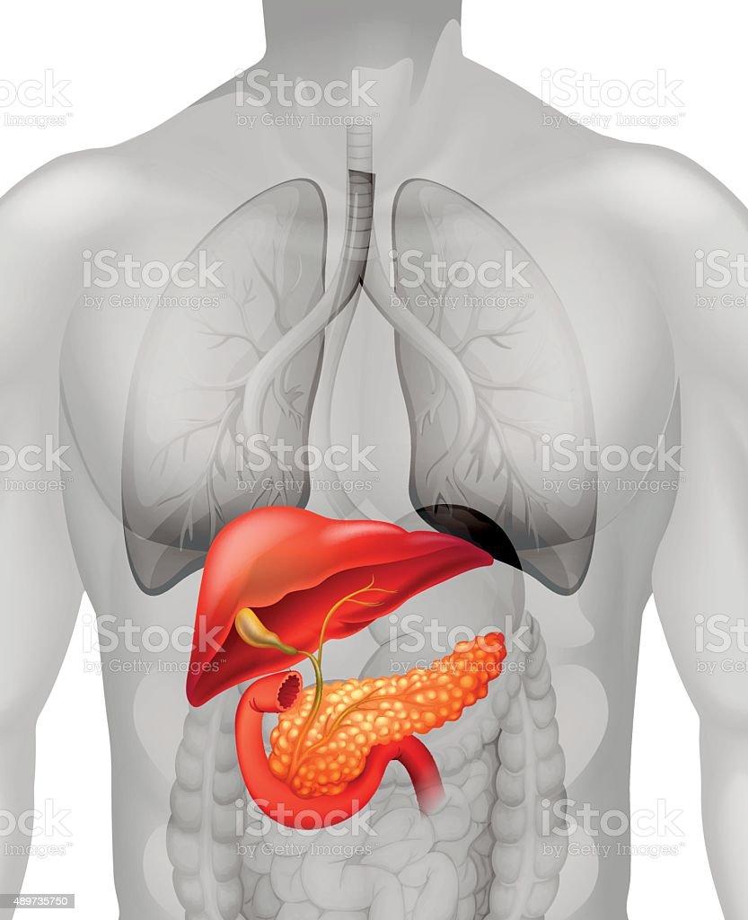 In Menschliche Bauchspeicheldrüse Krebs Stock Vektor Art und mehr ...