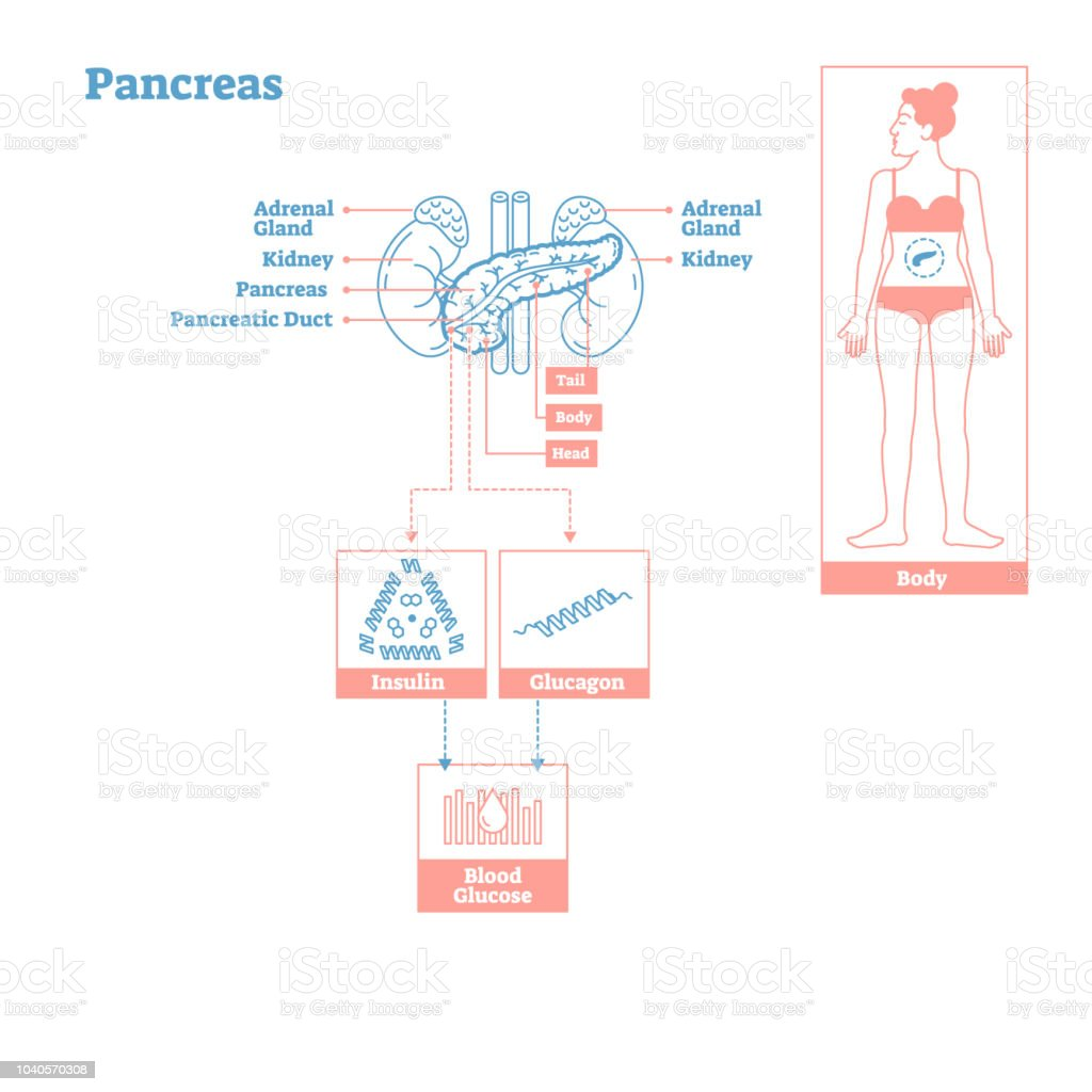 Pancreas Glands Of Endocrine System Medical Science Vector