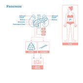 Pancreas - Glands of Endocrine System. Medical science vector illustration diagram.