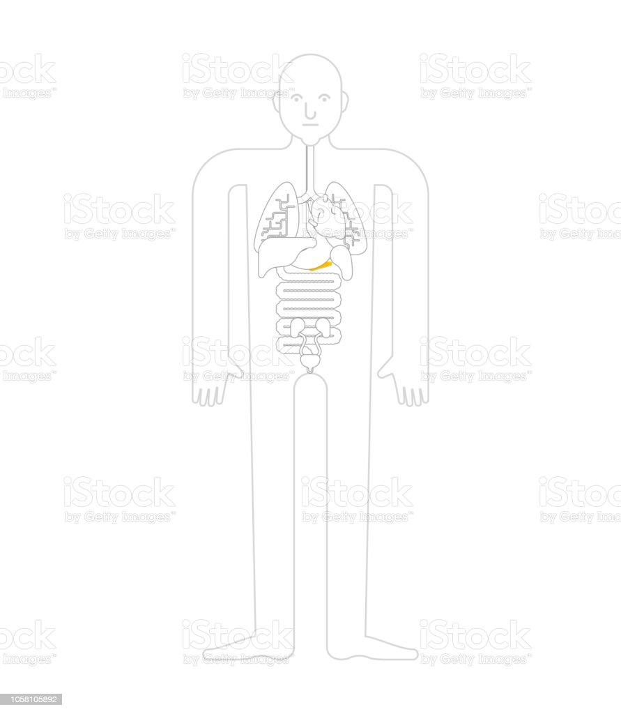 Pancreas Human Anatomy Internal Organs Systems Of Man Body And