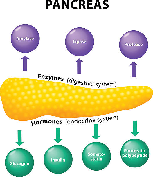Pancreas. secretory function Pancreas Physiology. secretory function. Enzymes amino acid stock illustrations