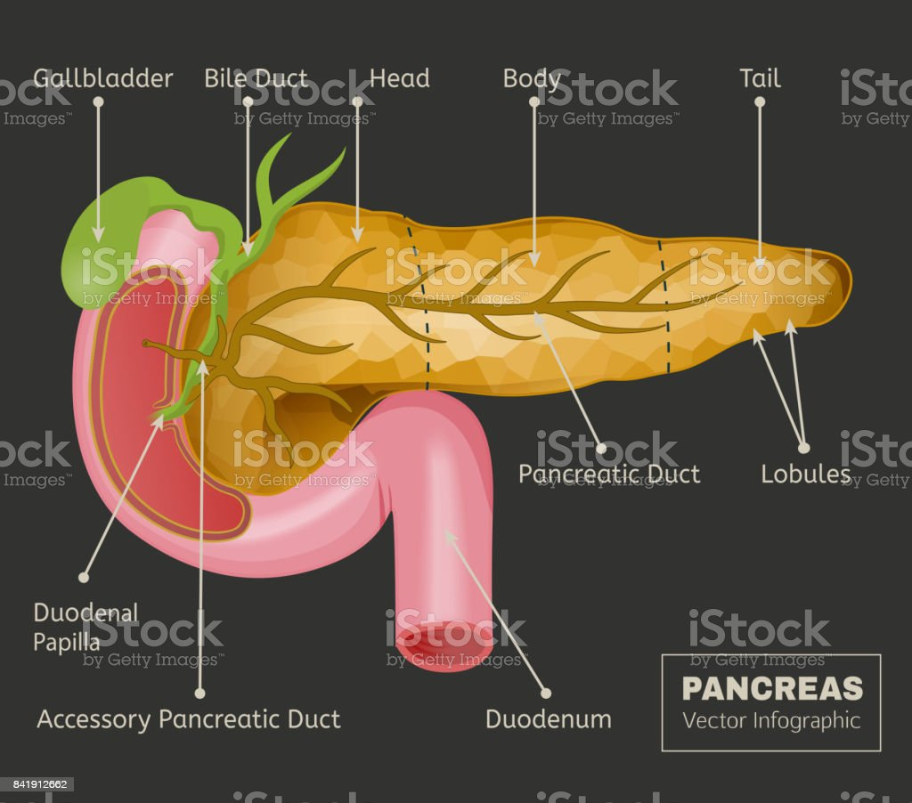 Pancreas Vector Image vector art illustration