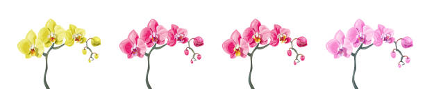 Panoramic view set Phalaenopsis orchid branches: pink, red, yellow flowers on white background. Digital draw tropical plants in watercolor style, vector botanical illustration for design Panoramic view set Phalaenopsis orchid branches: pink, red, yellow flowers on white background. Digital draw tropical plants in watercolor style, vector botanical illustration for design orchid stock illustrations