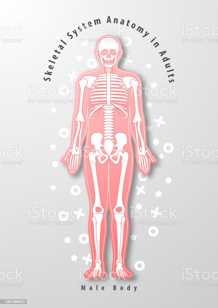 Paper Art Of Skeletal System Anatomy In Adults With Male Body